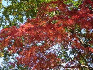 20陣馬山山頂直下の下山道の栃谷尾根の紅葉(拡大)